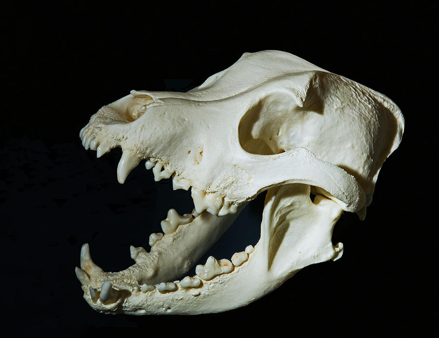 Pit Bull Domestic Dog Skull Photograph By Millard H Sharp