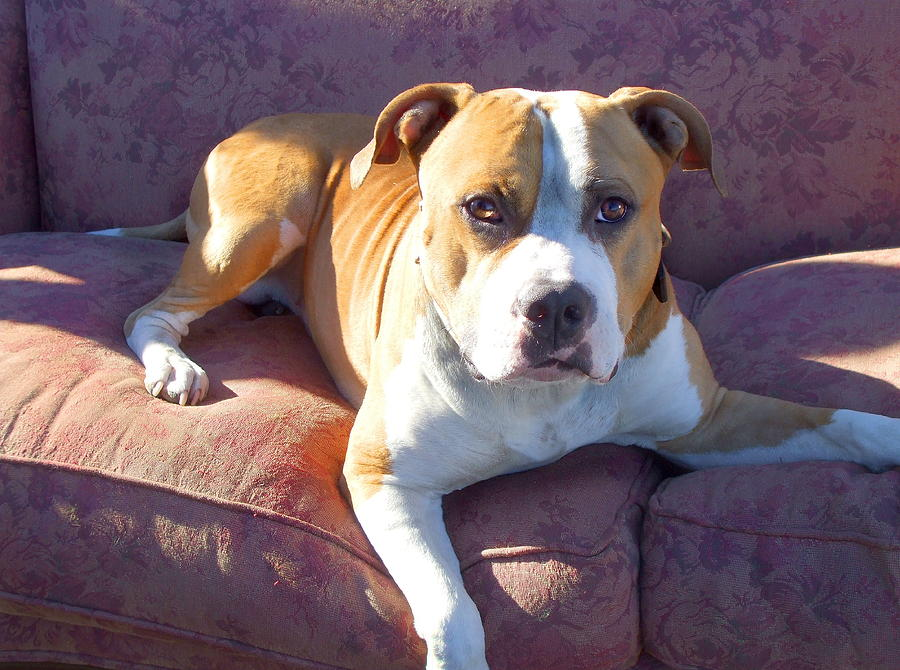 Pitbull Photograph - Pitbull On A Couch by Ritmo Boxer Designs