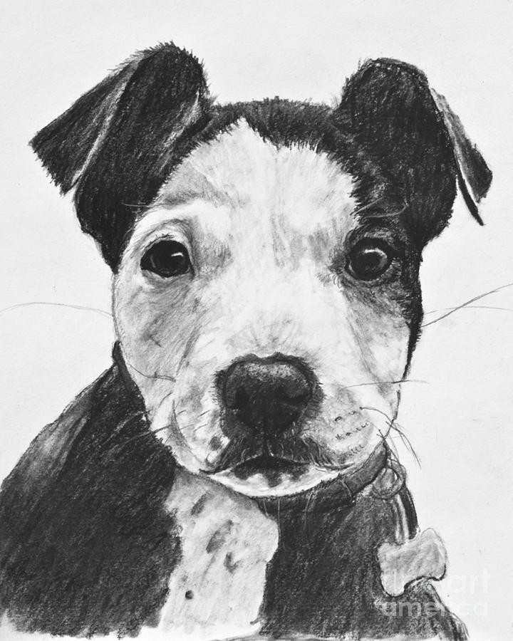 Pitbull Puppy Black And White Drawing by Kate Sumners