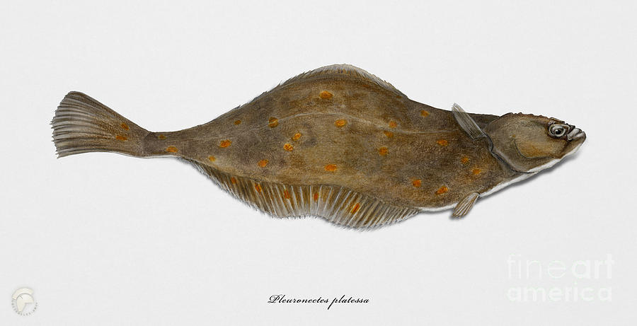 Plaice Painting - Plaice Pleuronectes platessa - flat fish Pleuronectiformes - Carrelet Plie - Solla - Punakampela by Urft Valley Art \ Matt J G  Maassen-Pohlen