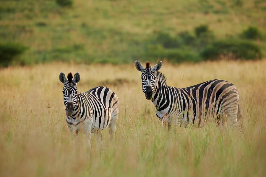 Plains Zebra, Equus Quagga Photograph by Juergen Ritterbach