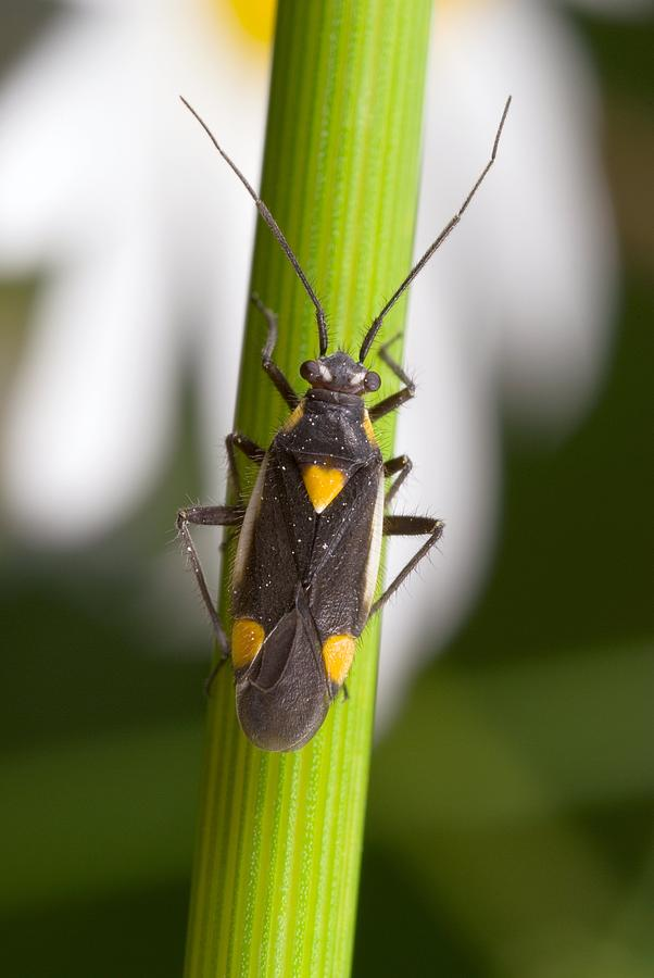 Animal Photograph - Plant Bug by Science Photo Library