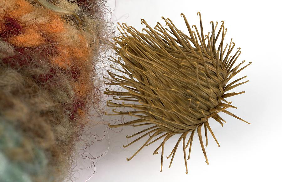 Achenes Photograph - Plant Burr Stuck To Woolly Fabric by Pascal Goetgheluck/science Photo Library