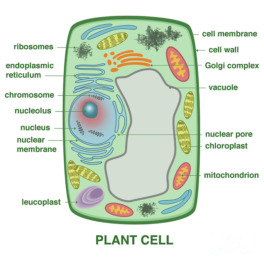 plant cell images