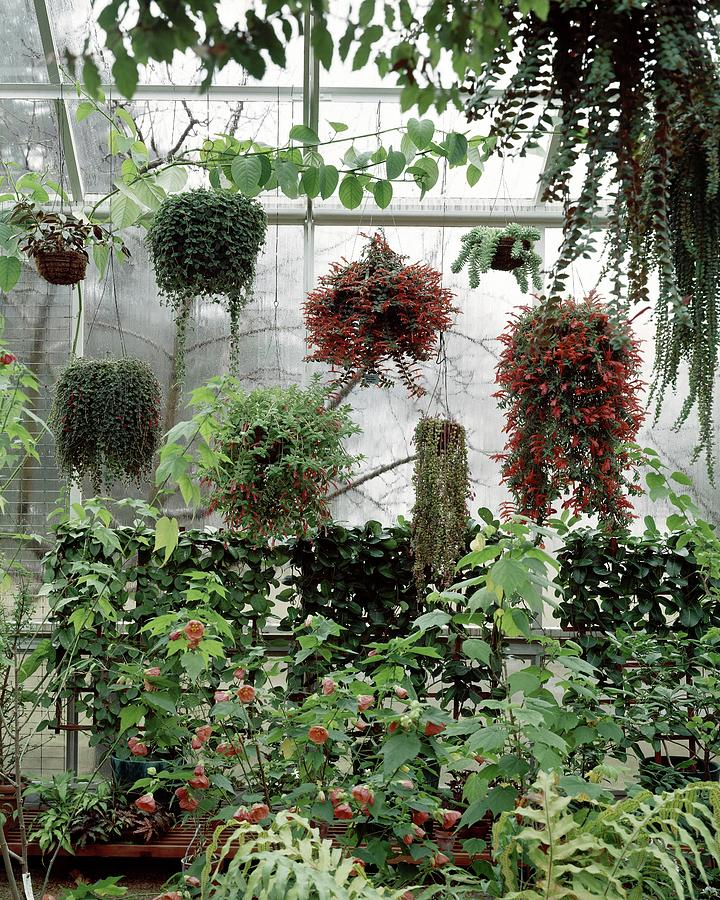 Plants Hanging In A Greenhouse Photograph by Wiliam Grigsby