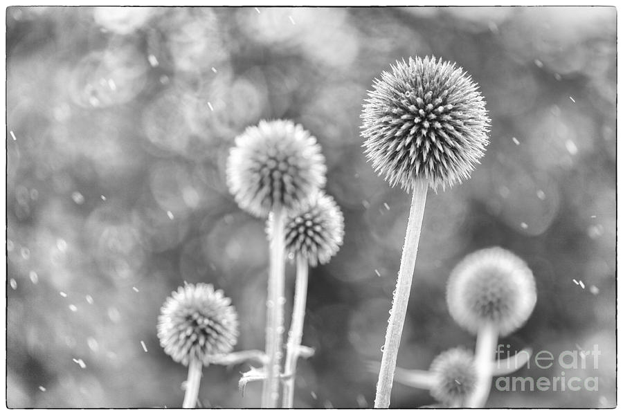 Echinop Photograph - Plants In The Rain by Natalie Kinnear