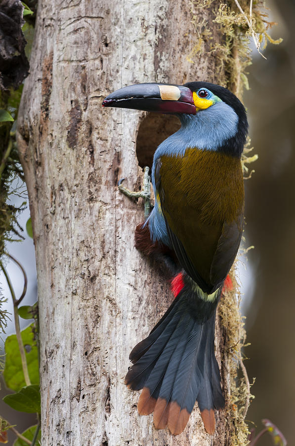 Plate-billed Mountain-toucan At Nest Photograph by Tui De Roy