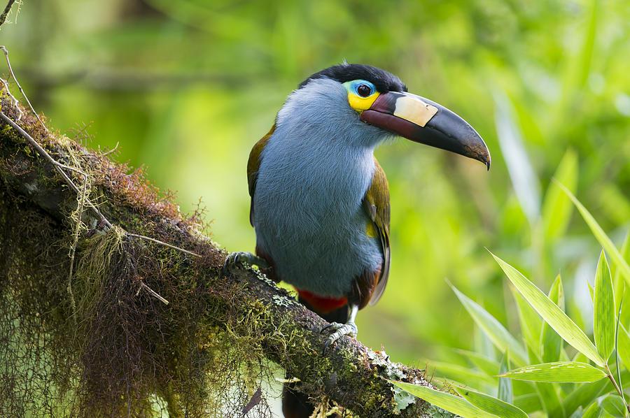 Plate-billed Mountain-toucan Bellavista Photograph by Tui De Roy