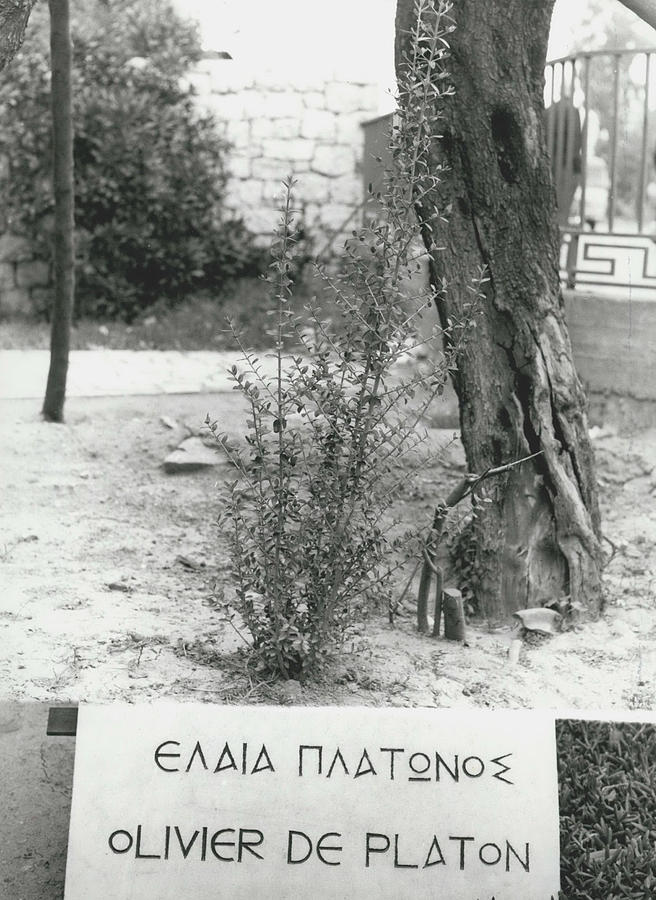 Retro Photograph - Plato�s Tree by Retro Images Archive