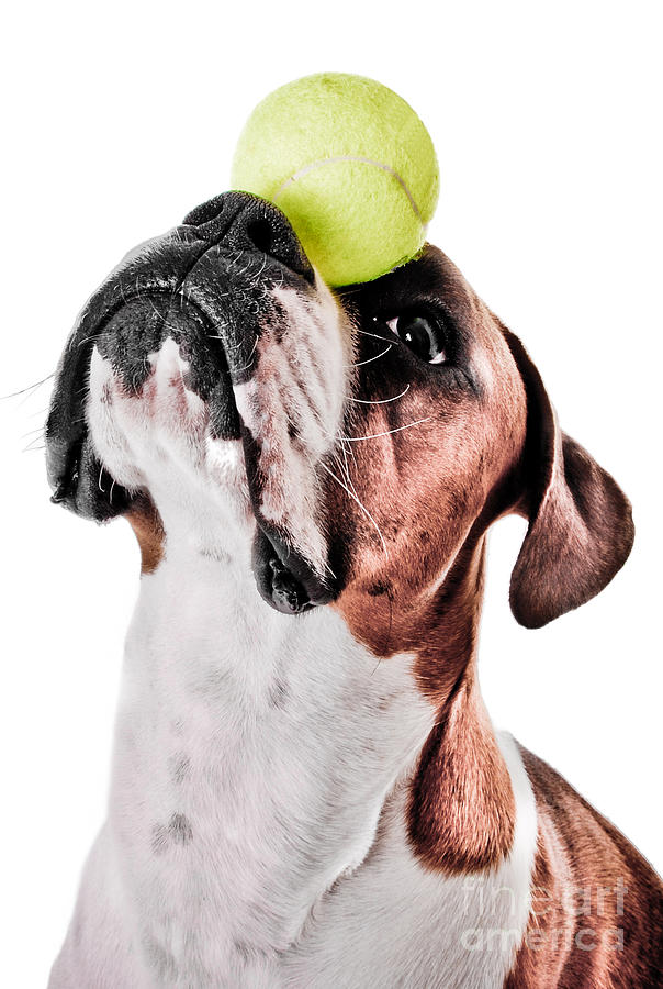 Dog Photograph - Play Ball With Me by Jt PhotoDesign