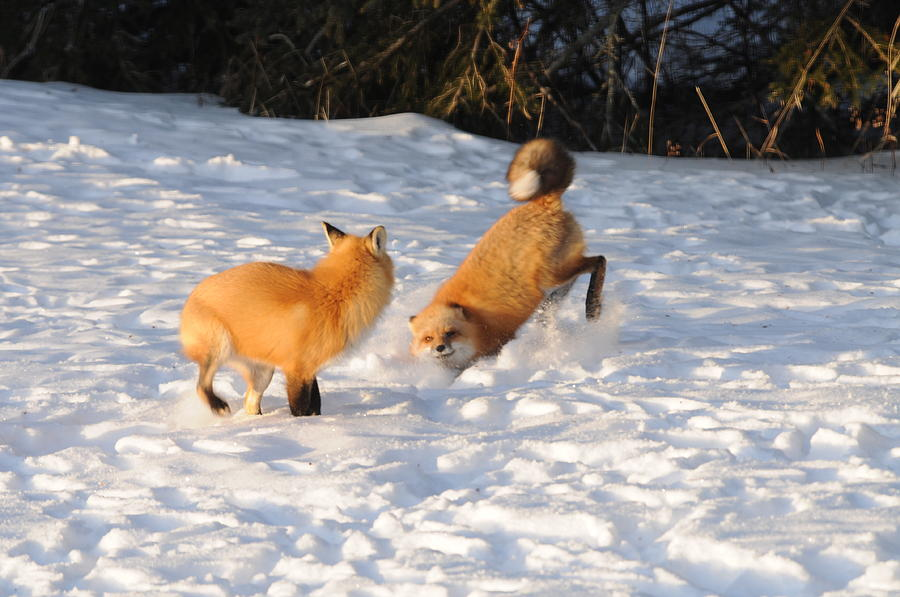 Red Foxes Photograph - Play Time by Sandra Updyke