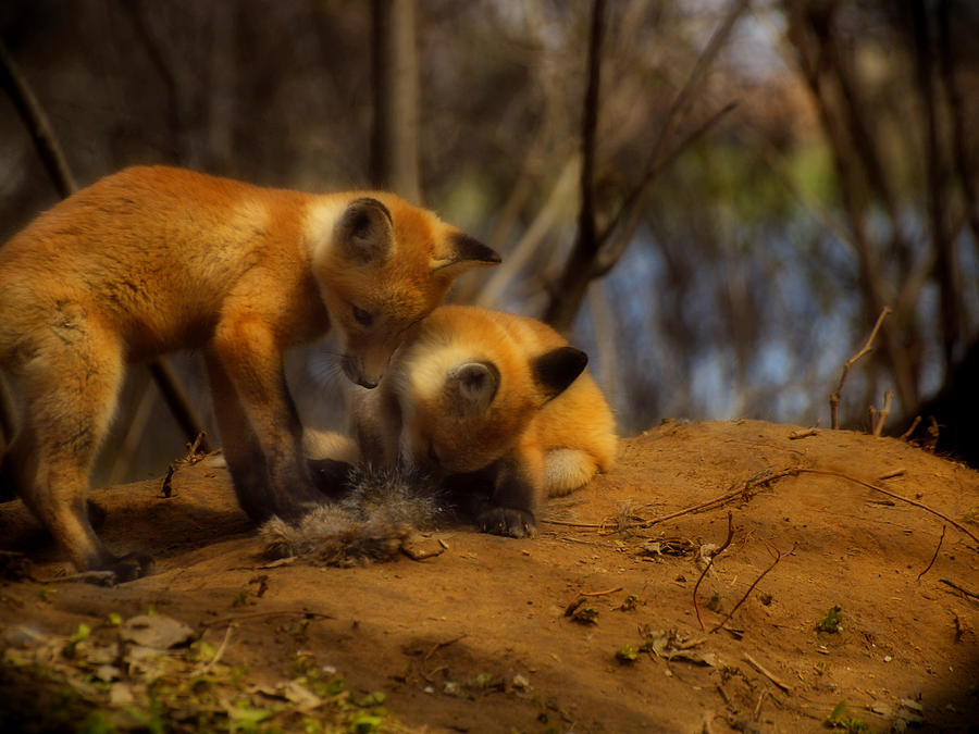 Kit Foxes Photograph - Play Time by Thomas Young