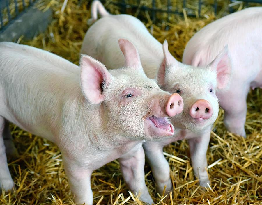 Playful Piggies Photograph by Colette222