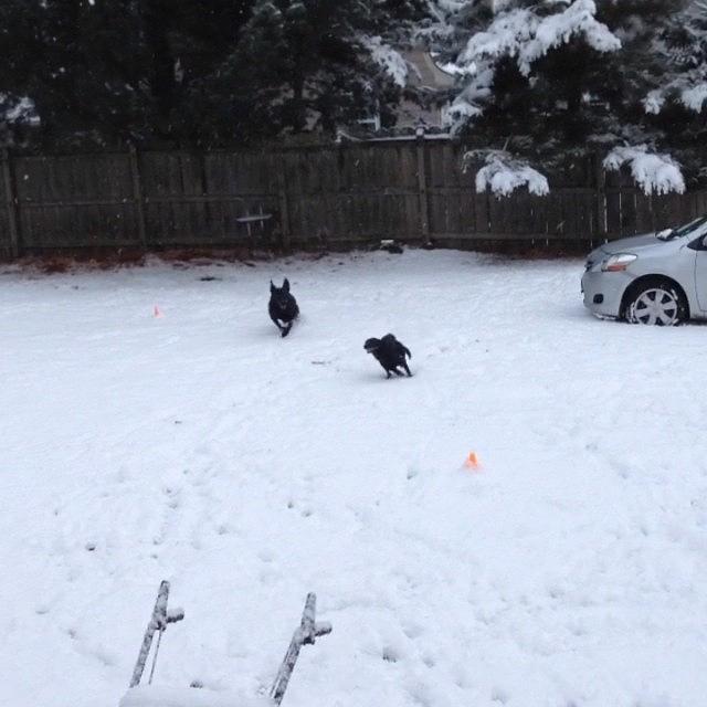 Playful Photograph - Playful Snow Puppies #snow #playful by Kristine Dunn
