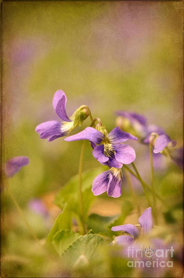 Violet Photograph - Playful Wild Violets by Lois Bryan