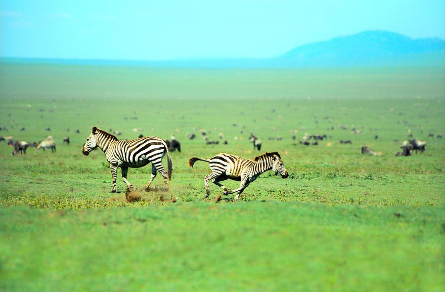 Africa Photograph - Playfull Zebras by Sebastian Musial