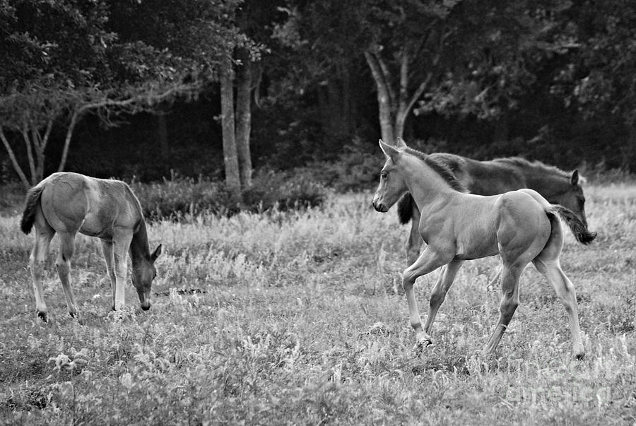 Foal Photograph - Playing Foals by Melissa Ahlers
