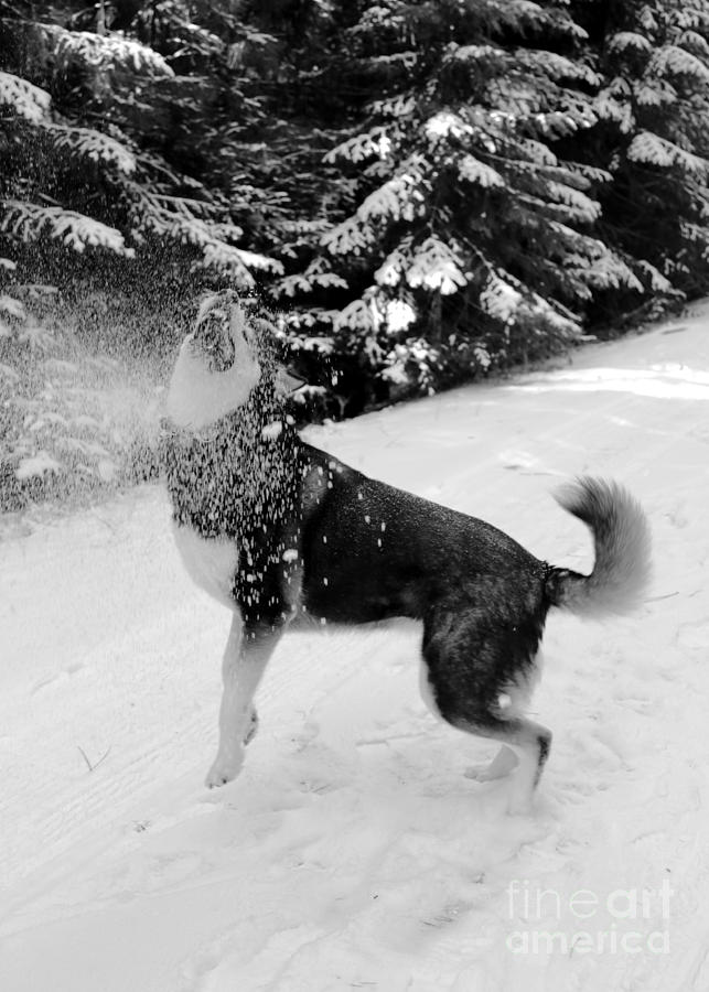 Dog Photograph - Playing In The Snow by Carol Groenen