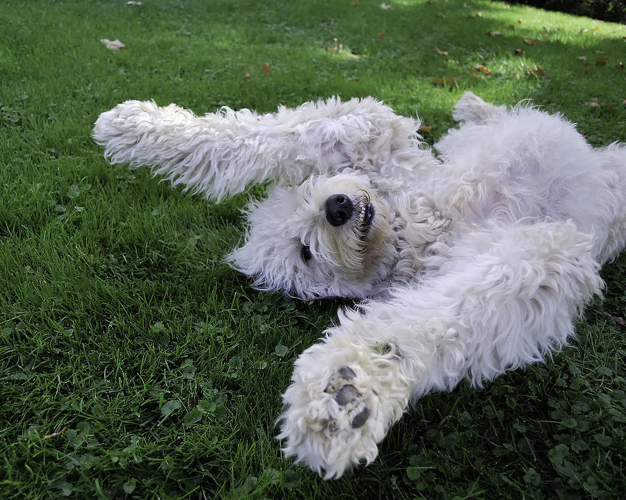Golden Doodle Photograph - Playing In The Yard Sept 2008 by Joseph Duba