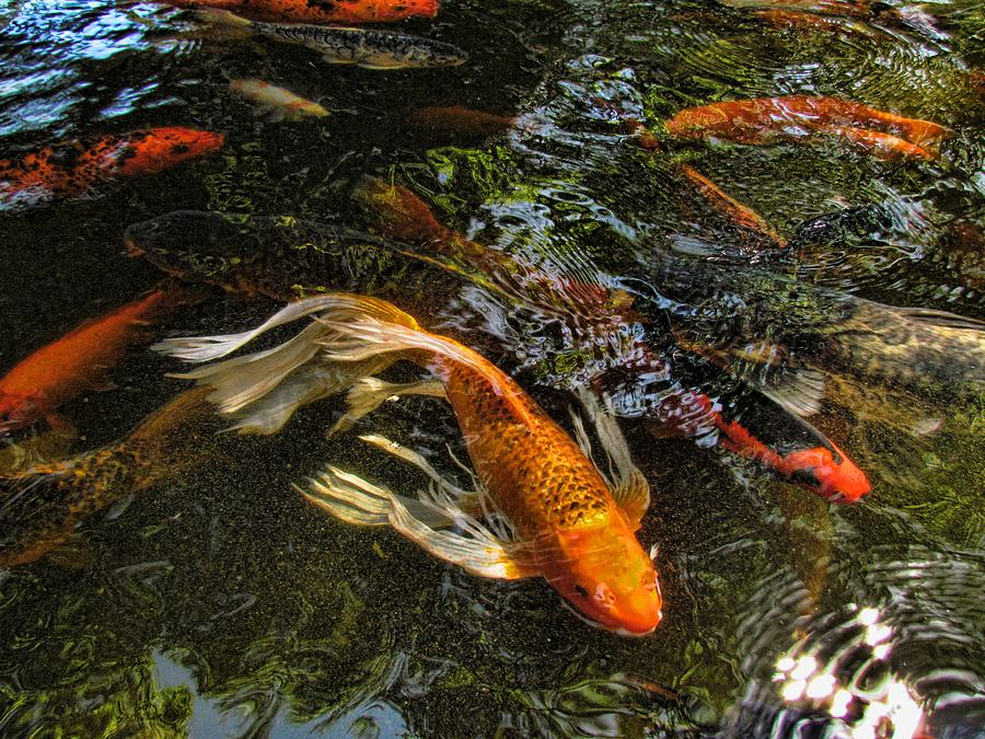 Koi Photograph - Playing Koi With Me by Shannon Story