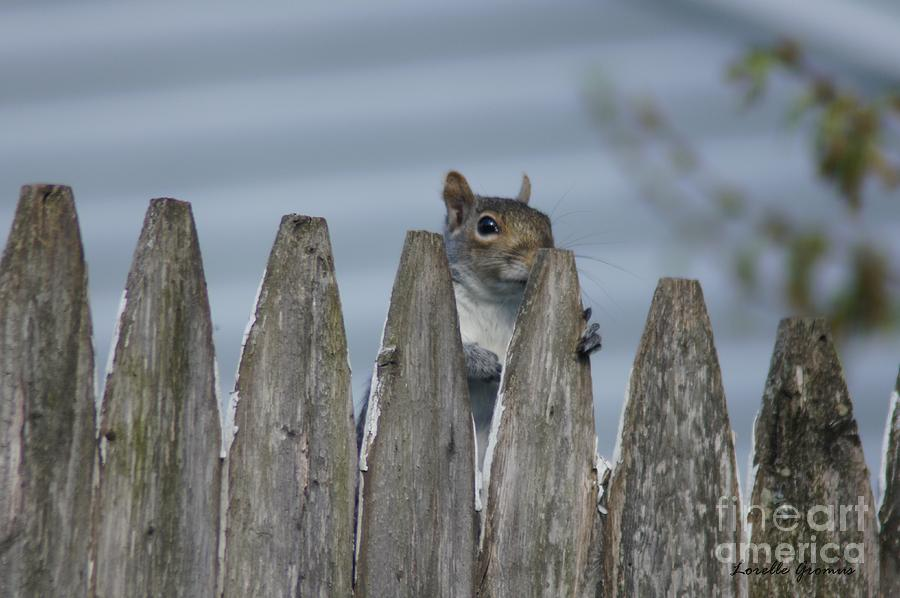 Squirrels Photograph - Playing Peek-a-boo by Lorelle Gromus