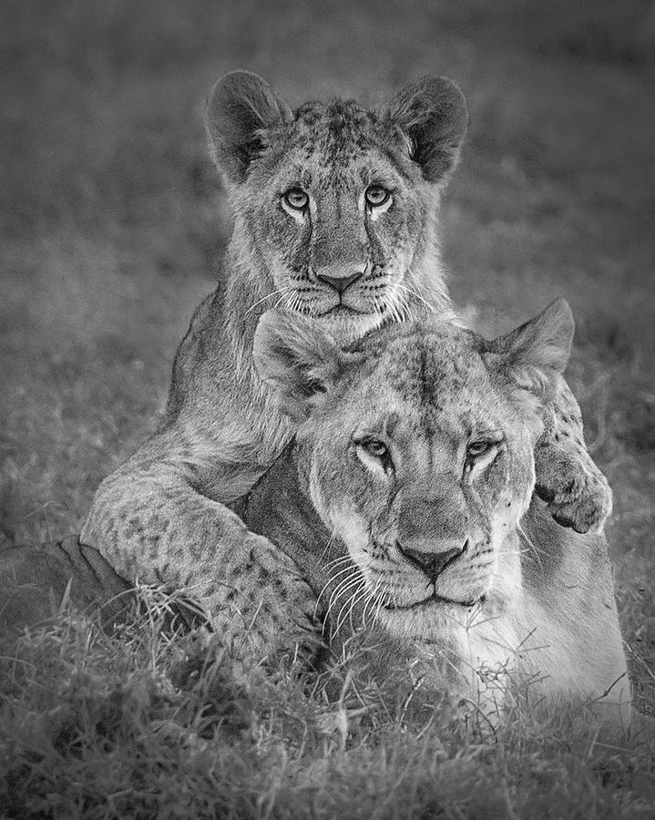 Lion Photograph - Playtime With Mama! by Ali Khataw