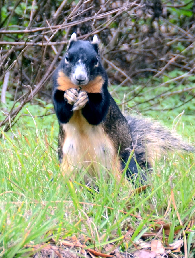 Fox Squirrel Photograph - Please Sir by Julie Cameron