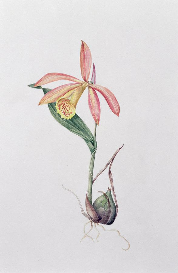Orchid Painting - Pleione Zeus Wildstein by Mary Kenyon-Slaney