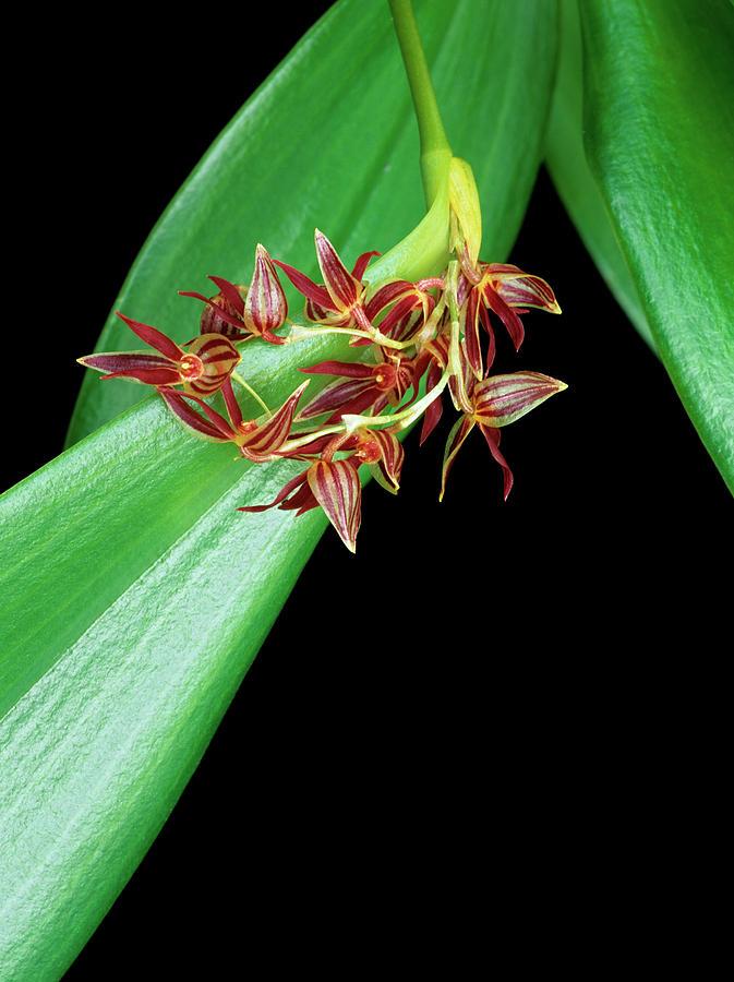 Botany Photograph - Pleurothallis Secunda by Geoff Kidd/science Photo Library
