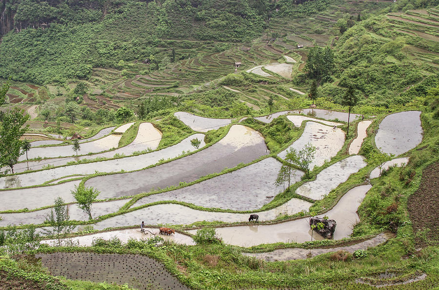 Plowing Rice Fields In Sw China Photograph by Ellen Mack