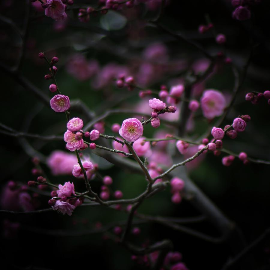Plum Blossoms Photograph by I Love Photo And Apple.