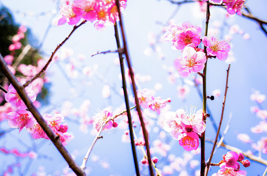 Plum Blossoms In Bloom Photograph by Marser