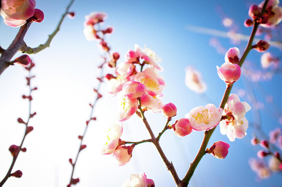 Plum Blossoms Photograph by Marser