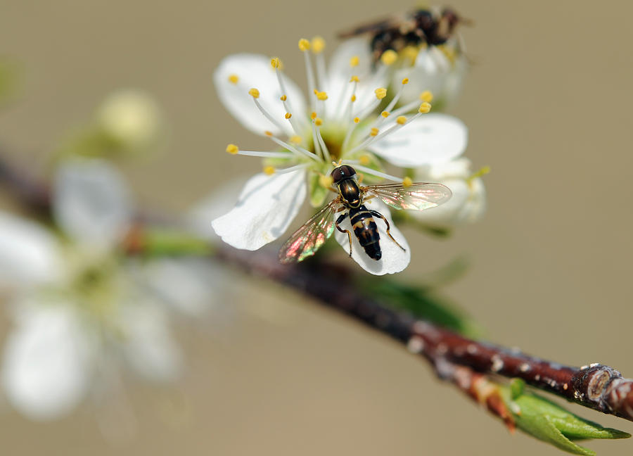Native Plum Photograph - Plum Pollinator  by Giffin Photography