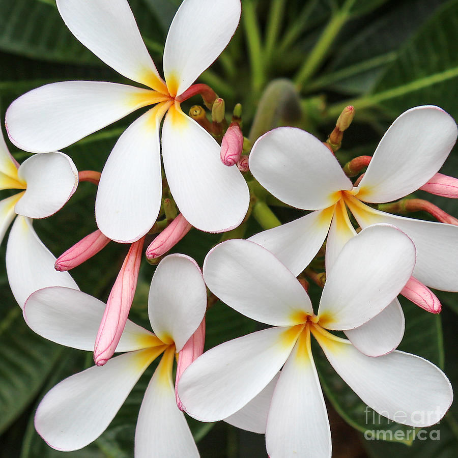 Plumeria by Andrea Shuttleworth