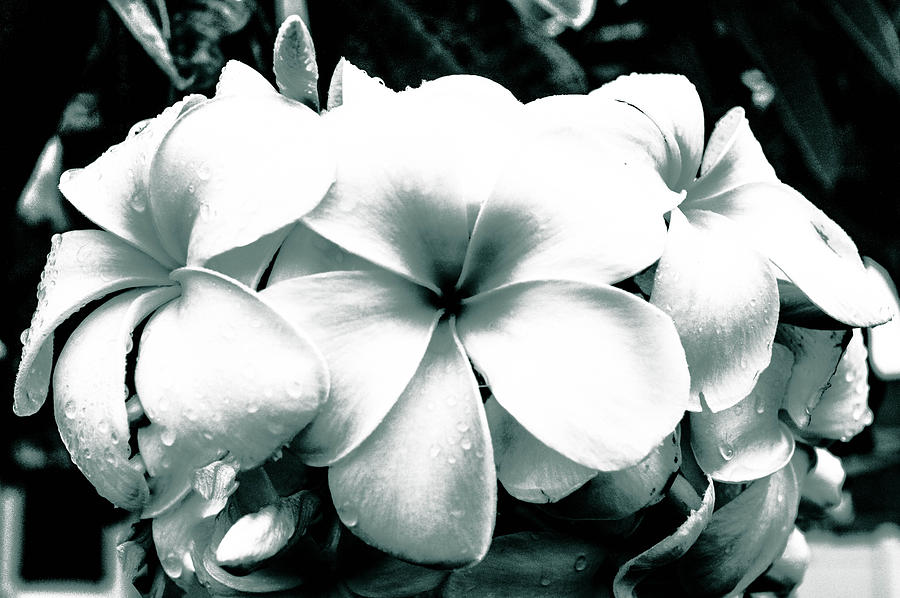 Plumeria Bunch No Color Photograph - Plumeria Bunch No Color by Lisa Cortez