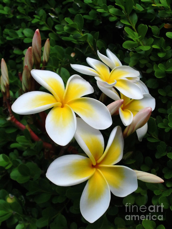 Photography Photograph - Plumeria In The Sunshine by Kaye Menner