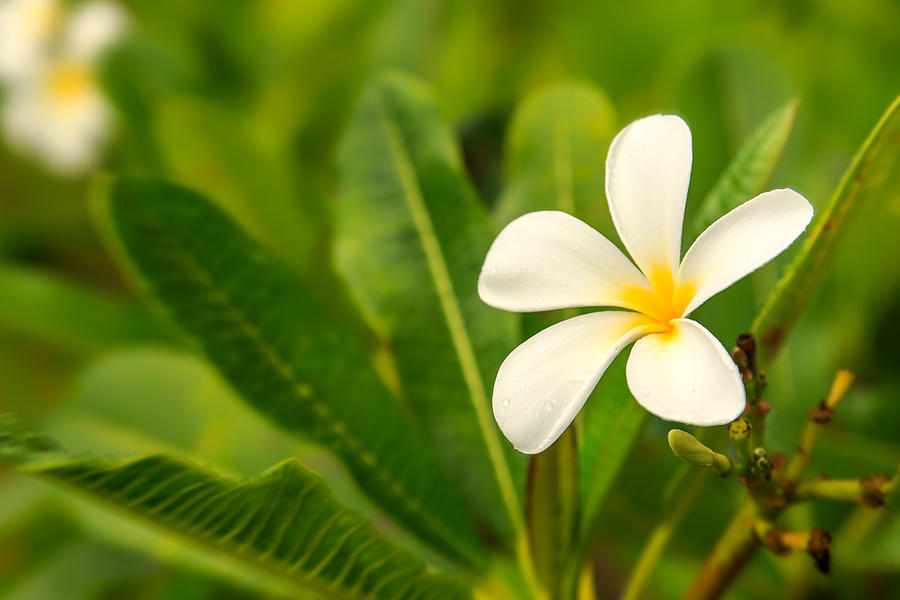 Plumeria by Stephen Kennedy