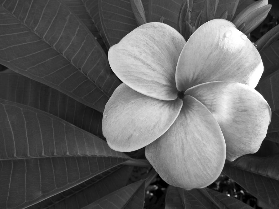 Floral Photograph - Plumeria With Raindrops by Shane Kelly