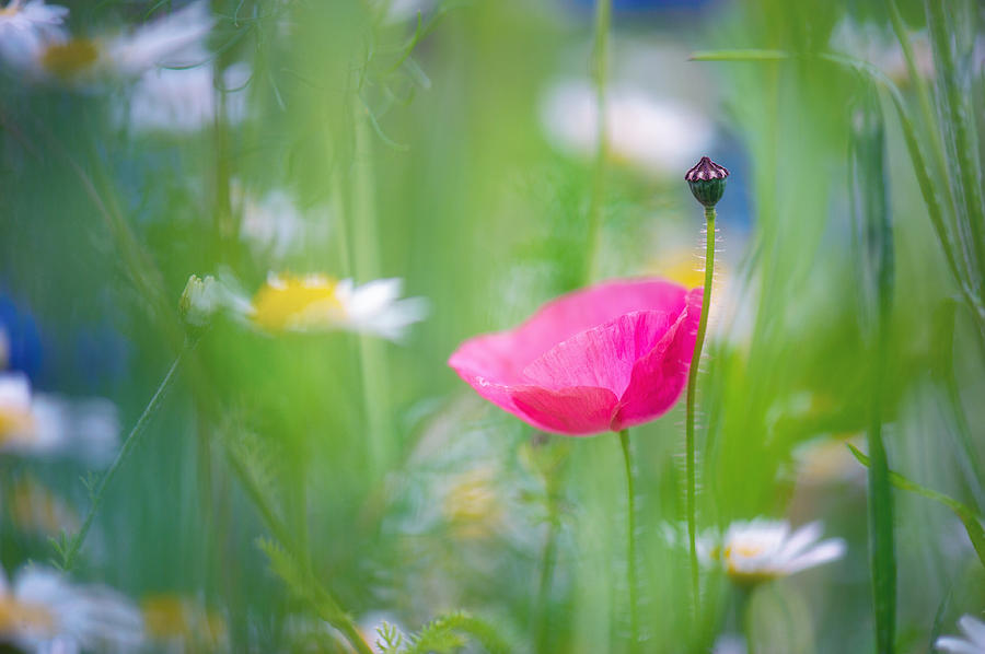 Poppy Photograph - Poetic Dreams by Sarah-fiona  Helme