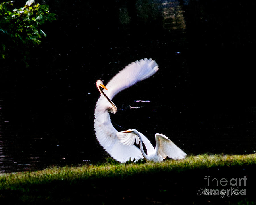 Egret Photograph - Poetry In Motion ... by Jinx Farmer