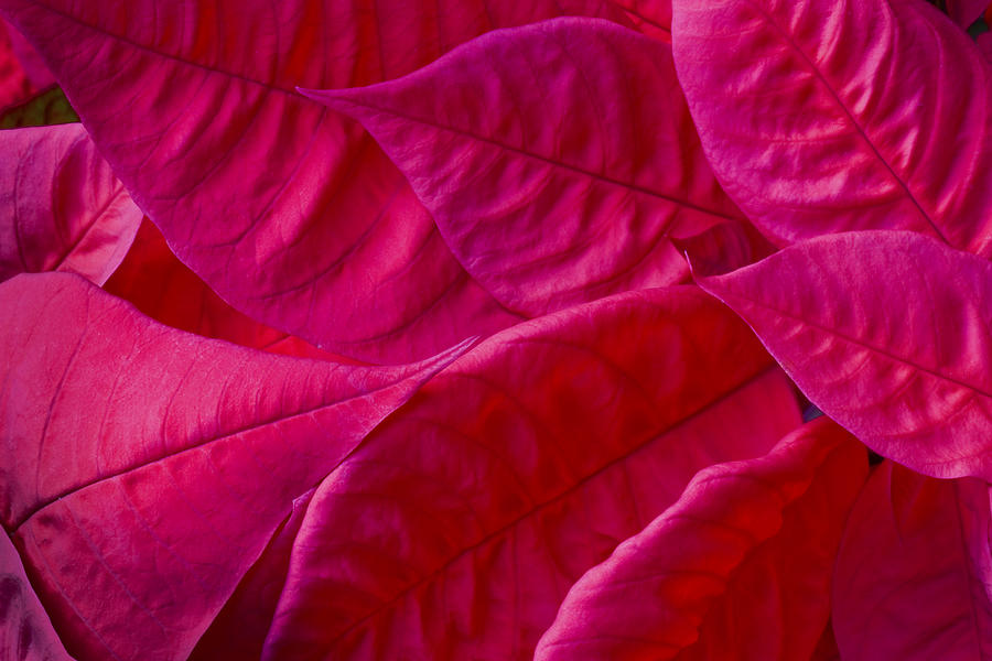 Poinsettias Photograph - Poinsettia Leaves 1 by Rich Franco