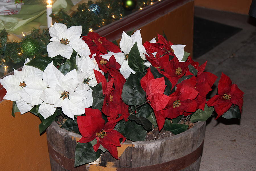 Poinsettias Photograph - Poinsettias by Edward Hamilton
