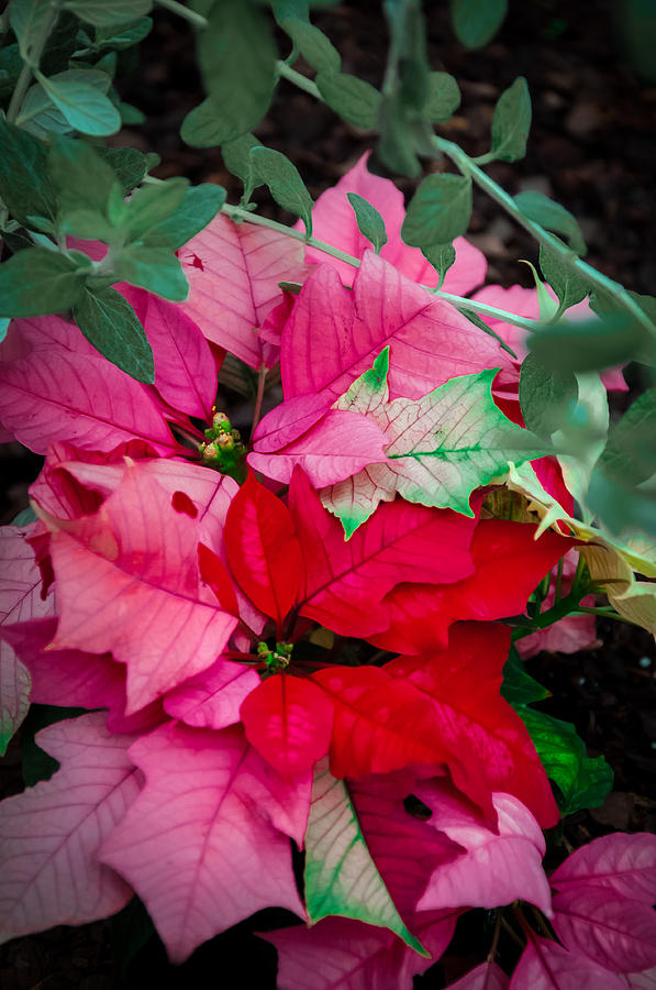 Plant Photograph - Poinsettias In Maturation by Gene Sherrill