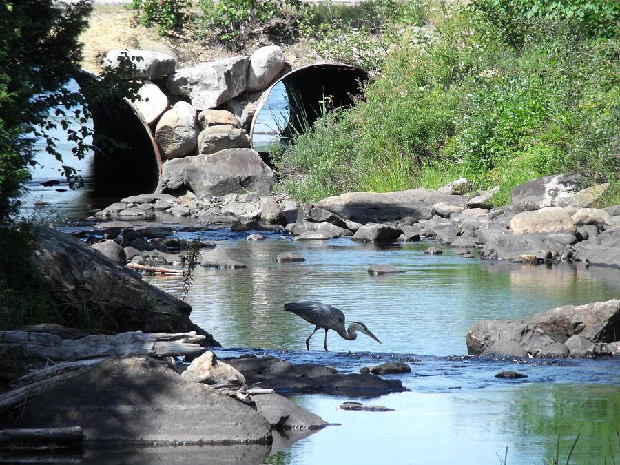 Heron Photograph - Poised by Jane Munroe