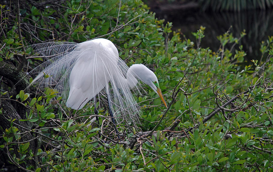 Great Egret Photograph - Poised by Skip Willits