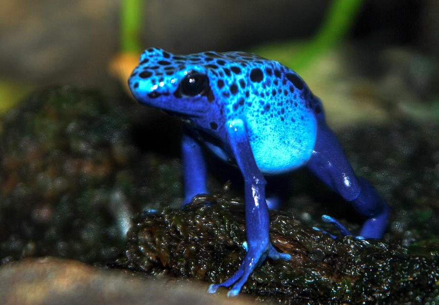 Poison Blue Dart Frog Photograph by Optical Playground By MP Ray