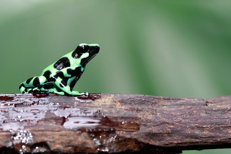Poison Dart Frog Photograph by Mlorenzphotography