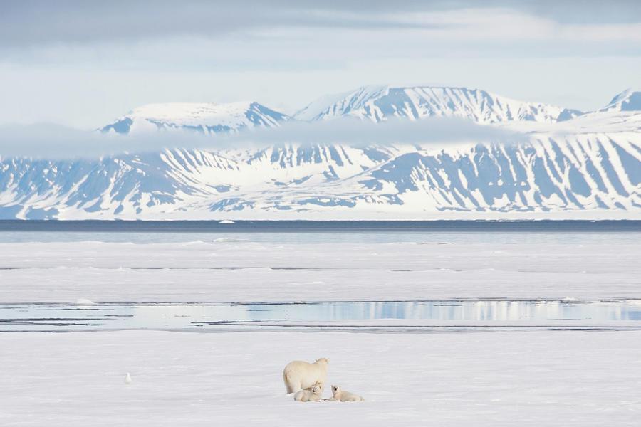 Polar Bear And Cubs On Arctic Sea Ice Photograph by Nailzchap