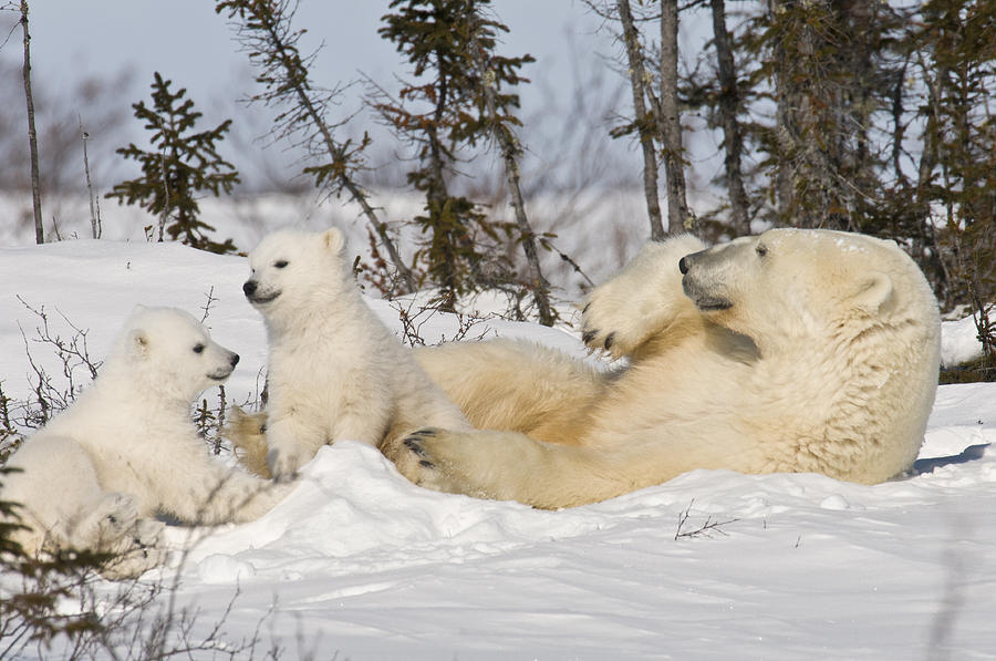 Arctic Photograph - Polar bear family playing in the snow by Richard Berry